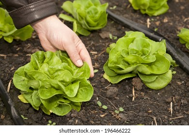 Greenhouse for vegetables and plant nursery - lettuce
