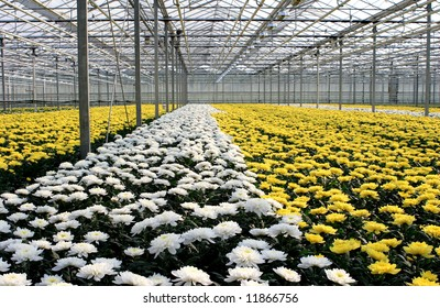 Greenhouse with white and yellow chrysanthemums