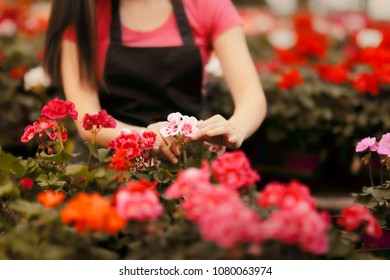 Greenhouse Worker Hands Caring for Plants. Florist caretaker in hothouse nursery at work