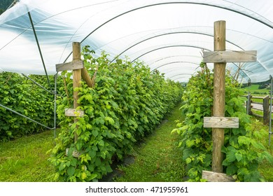 greenhouses for the cultivation of mountain raspberry