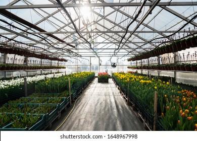 Gewächshäuser für den Blumenanbau. Blumenindustrie