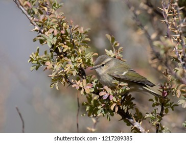 The Greenish warbler