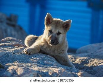 Greenland Dog puppy, Ilulissat, Greenlandt, Greenland