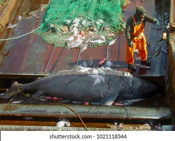 A Greenland shark (Somniosus microcephalus) by-caught by a bottom trawler in North Atlantic waters