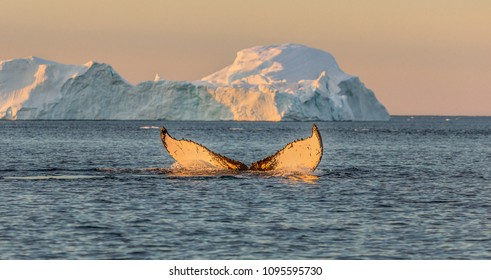 Greenland. Whale dive near Ilulissat among icebergs. Their source is by the Jakobshavn glacier. The source of icebergs is a global warming and catastrophic thawing of ice, Disko Bay