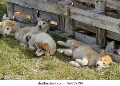 Greenlandic sledge dog pups resting in shade, Ilulissat, West Greenland