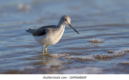Greenshank Wading In The Sea Searching For Food
