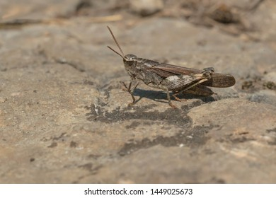 A Green-striped Grasshopper is resting on the ground basking in the afternoon sun. Carden Alvar Provincial Park, Kawartha Lakes, Ontario, Canada.