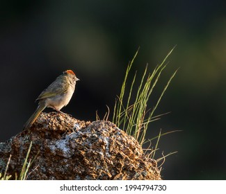 A green-tailed towhee surveys from his perch in Wyoming.