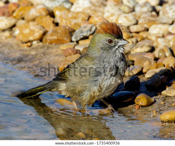 Green-tailed Towhee at water's edge in South Texas