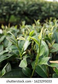 Greentea leaf. Close up fresh greentea leaves.