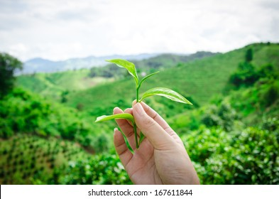 Greentea leaves in a hand with natural greentea field background