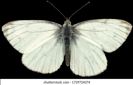 Le Pieris napi blanc à veine verte est un papillon de la famille Pieridae. Vue dorsale du papillon blanc isolé sur fond noir.