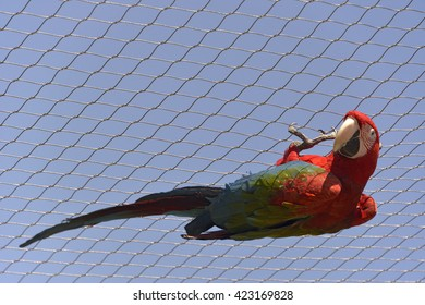 Green-winged macaw (Ara chloroptera) hanging from a fence on blue sky background
