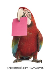 Green-winged Macaw, Ara chloropterus, 1 year old, holding a pink card in its beak, a post-it in front of white background
