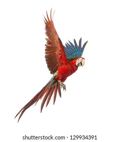 Green-winged Macaw, Ara chloropterus, 1 year old, flying in front of white background