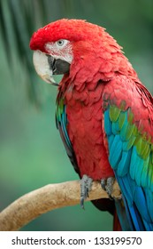 Green-winged macaw (Ara chloropterus) portrait