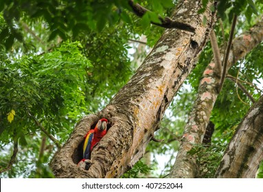 Green-winged Macaw Ara couple in the nest - Puerto Jimenez, Costa Rica