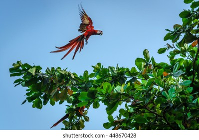 Green-winged Macaw Ara in the wild - Costa Rica