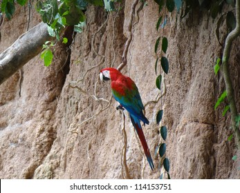 A green-winged macaw at a macaw clay lick at the Tambopata river in the amazon rainforest in Peru.