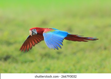 Green-winged Macaw flying on green background