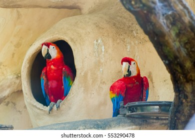 The green-winged macaw at Iguazu falls, Brazil - also known as the red-and-green macaw - large, mostly-red macaw of the Ara genus, native to South America.