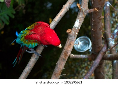 A green-winged parrot sits on a branch preening himself. The bird lives in the aviary of a zoo.