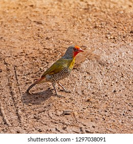 A Green-winged Pytilia standing on a track in Southern African savanna