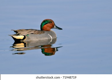 green-winged teal duck swimming in florida wetland pond and smiling, with clean background