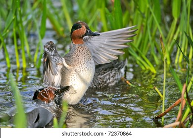 green-winged teal ducks flapping and splashing in florida wetland vegetation