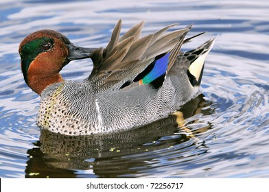 green-winged teal looking into camera while preening on florida wetland pond