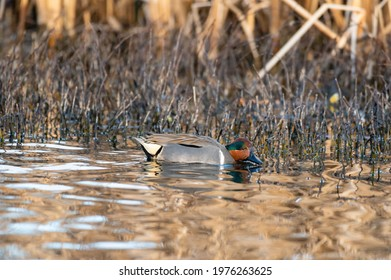 Green-winged Teal is the smallest dabbling duck in North America. The natty male has a cinnamon-colored head with a gleaming green crescent that extends from the eye to the back of the head.