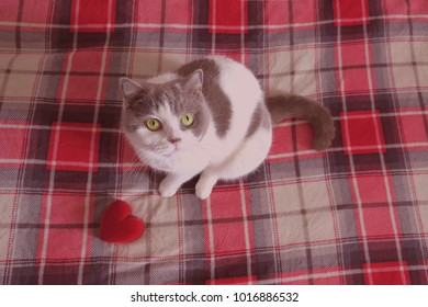 Greeting Card With A British Short Hair Cat That Holds Red Heart Valentines