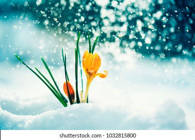 greeting card with festive bright yellow flowers snowdrop crocuses rose in early spring in the Park during a brilliant snowfall