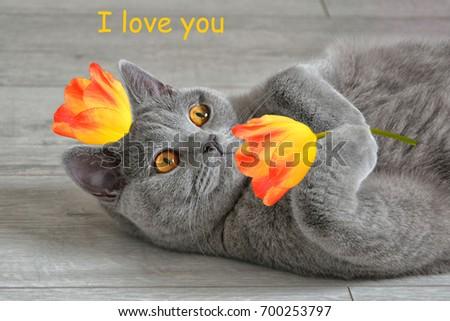Greeting card i love you british stock photo edit now 700253797 greeting card i love you with a british short hair cat that m4hsunfo