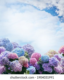 Greeting card with pink, blue, lilac, violet, purple Hydrangea flower (Hydrangea macrophylla) in a blue background with the sky. Hortensia isolated with clipping path