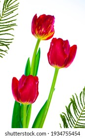Greeting card. spring flowers red tulips isolated on white background. floral collection.