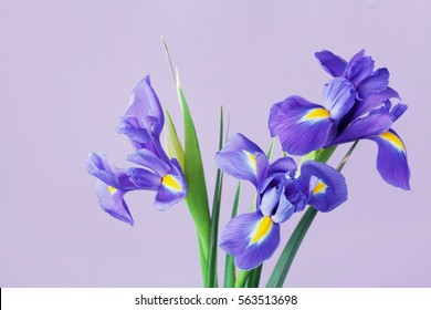 Greeting card with spring iris flowers