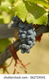 Grenache grapes in Priorat