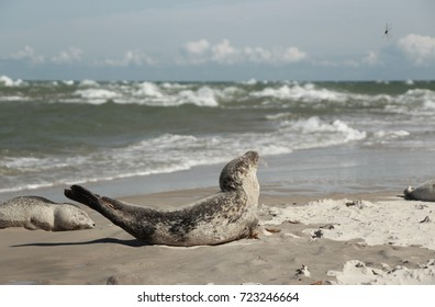 Grenen, Skagen Denmark. Edge of continental Europe. Young seal relaxing by the beach.