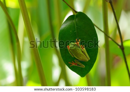Grenouille Costa Rica grenouille arboricole costa rica stock photo (edit now) 103598183