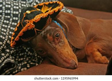 Greta the dachshund dressed for celebrating Cinco de Mayo
