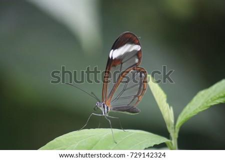 Greta Oto Glasswinged Butterfly Stock Photo Edit Now 729142324