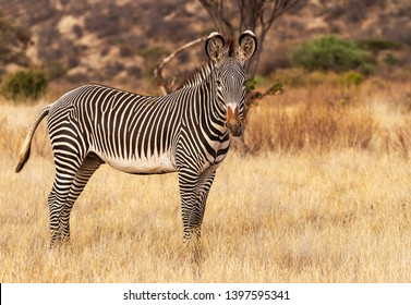 Grevy Grévy's zebra Grevy's Equus grevyi with  black and white narrow stripes in dusty dry golden scrub Samburu Kenya East Africa endangered species natural environment