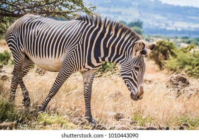 Grevy's zebra in the African wilderness
