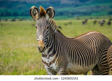 Grevy's zebra close up on green savanna grassland