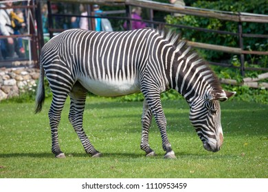 Grevy`s zebra (Equus grevyi ) in the Moscow Zoo
