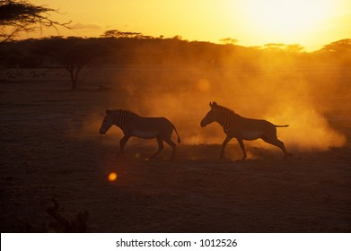 Grevy's zebra (Equus grevyi)  at sunset - Shaba Game Reserve, Kenya
