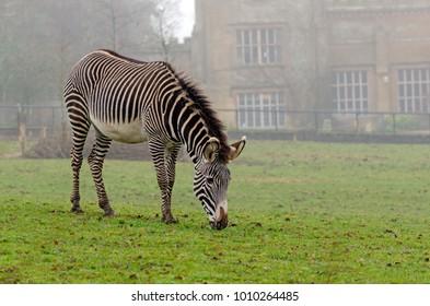 Grevy's Zebra grazing