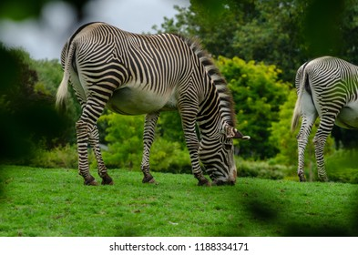 A grevys zebra grazing on the grassland
